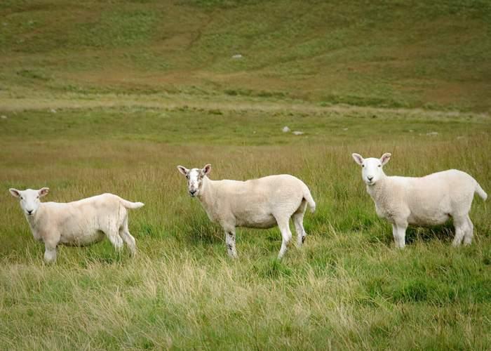 În sfârşit se schimbă legea! Ciobanii vor putea creşte câţi câini vor, dar cel mult trei oi