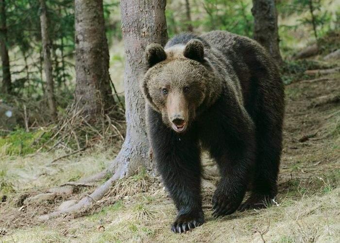 Atenţie, cocalari! Urşii din Bucegi vor fi dresaţi să atace doar turiştii în şlapi