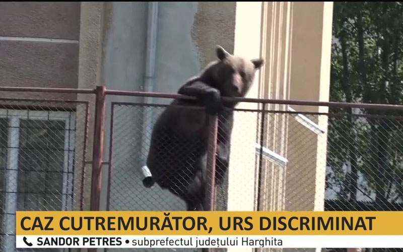 Ursul care se plimba prin Miercurea Ciuc, împuşcat după ce a cerut o pâine în română