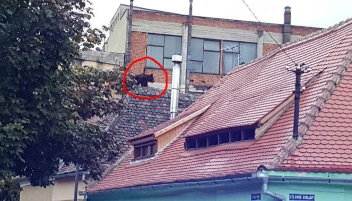 """Un pui de urs, împușcat în Sibiu. """"Bestia"""" risca să avarieze câteva din casele lui Iohannis"""