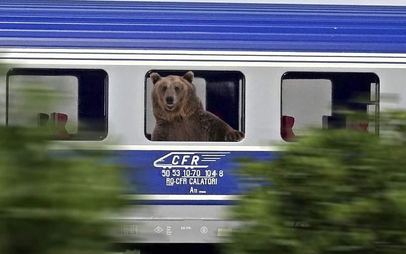 Urșii din Tușnad întind coarda! Unul s-a suit în tren și vine la București