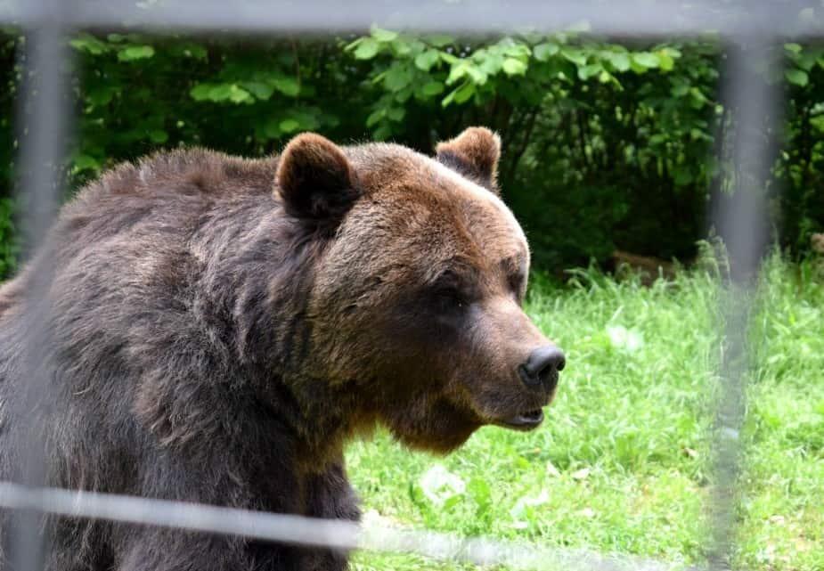 Ursul care a atacat ieri la Braşov fusese eliberat de la Zoo prin recursul compensatoriu