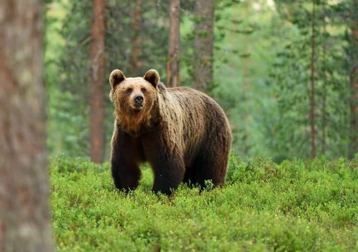 Incident în Poiană! Un urs a atacat un turist care umbla în curul gol, supărat că e îmbrăcat la fel ca el