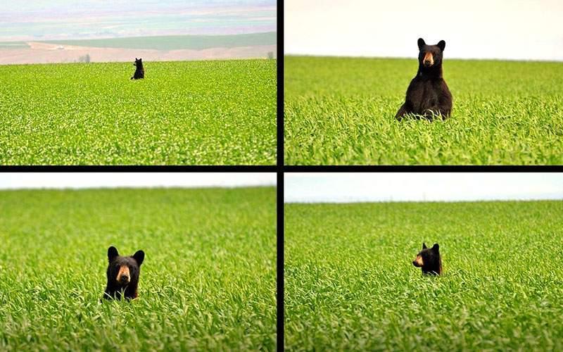 Din cauza defrişărilor, în România a apărut o specie nouă: ursul de câmp