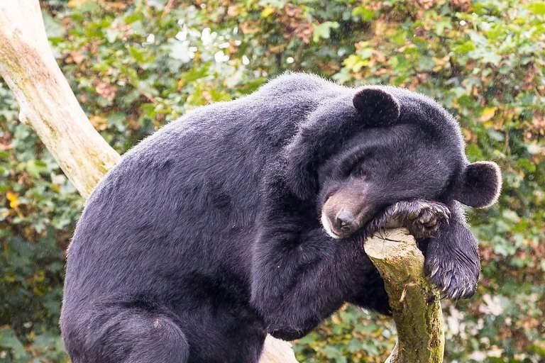Pericol în Alba. Un urs mahmur atacă gospodăriile şi fură zeama de varză din butoaie