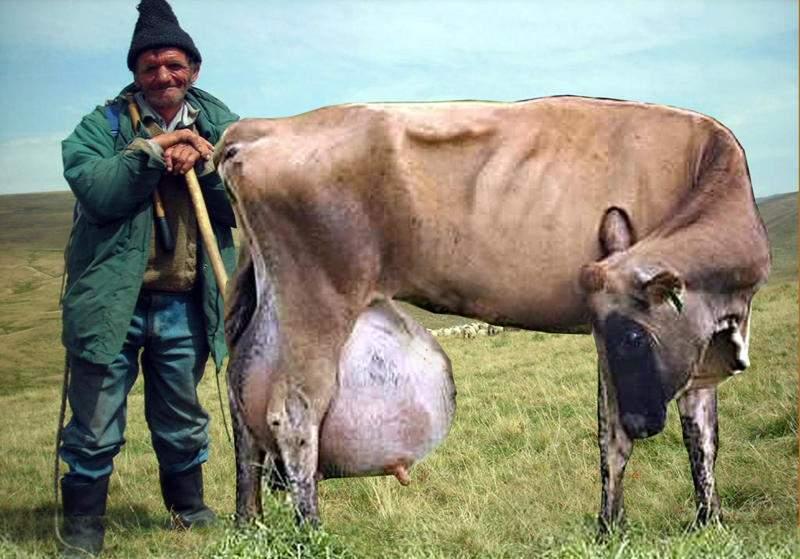 Tot mai mulţi ţărani îşi siliconează vacile
