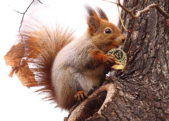 În Herăstrău a fost văzută veverița cocalară care în loc de ghinde colecționează ghiuluri