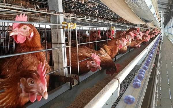 Un român și-a modificat genetic găinile, să facă prune în loc de ouă