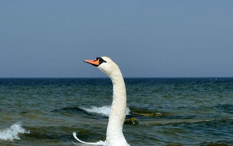 O lebădă flămândă a semănat teroare pe plaja de nudiști din 2 Mai
