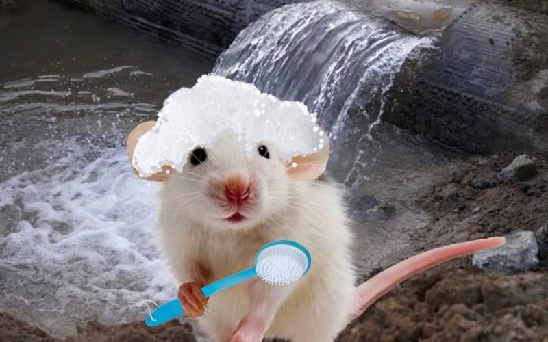 Efectul țevilor de apă caldă sparte. Capitala are cei mai curați șobolani din UE