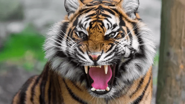 Inspirate de povestea de succes a lui Nuţu, mai multe bănci şi-au luat tigri