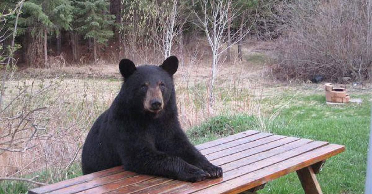 Chelnerii din Brașov, sfătuiți să nu hrănească urșii, că fug când vine nota