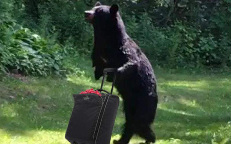 Evoluție! Urșii fură trollere și le folosesc pentru a căra zmeură și mure