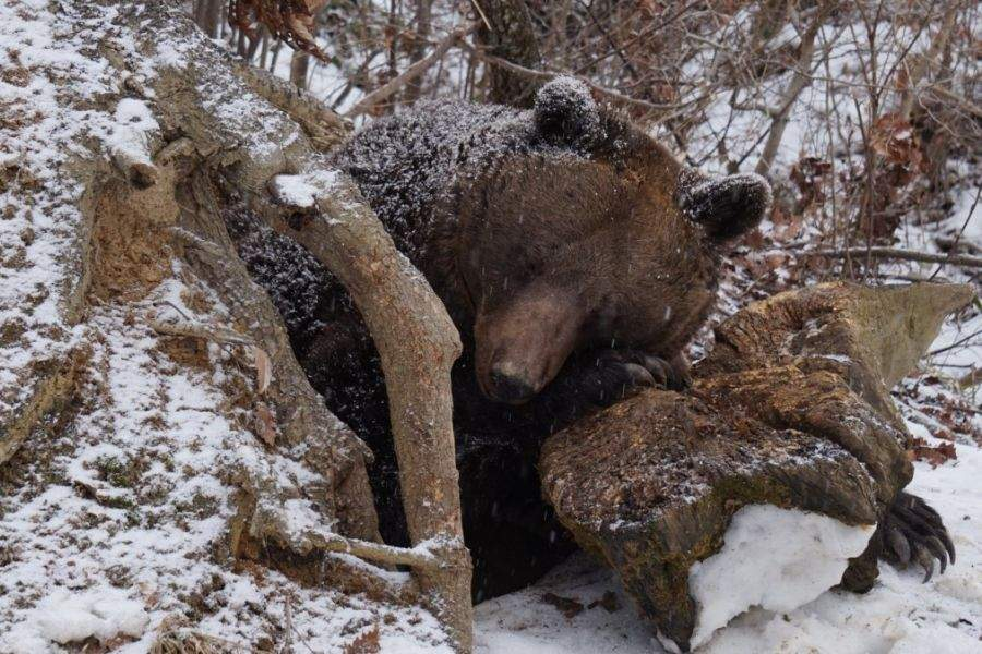E sezonul de împerechere la urși. Nu vă aplecați după ciuperci!