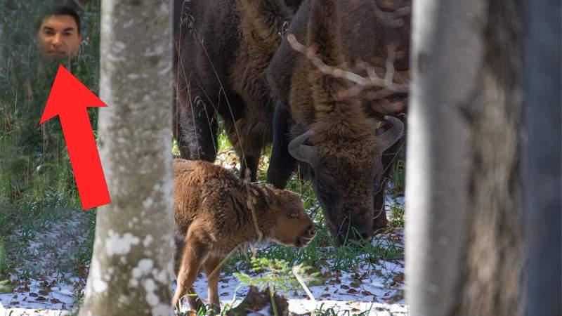 Cristi Borcea, văzut în zona în care s-a născut un pui de zimbru în libertate