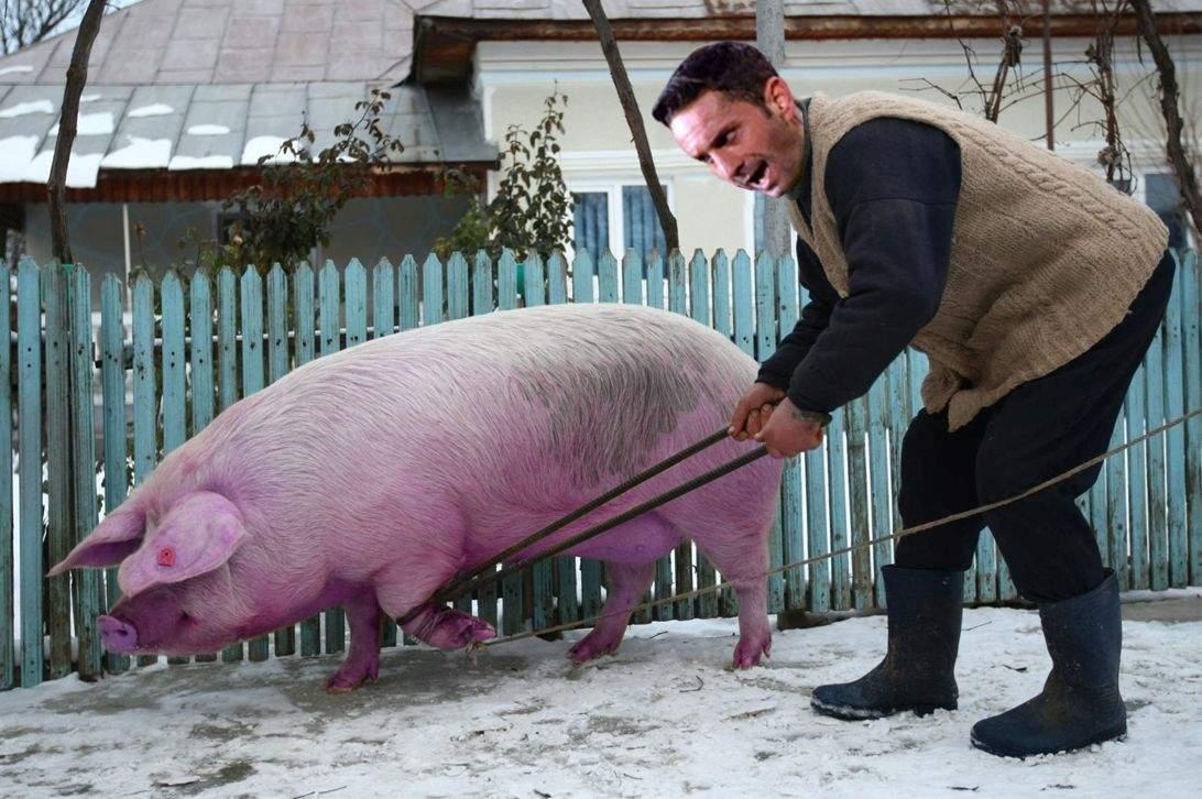 """Recidivă! Când a ales porcul de tăiat, Colțescu l-a indicat cu sintagma """"ăla roz"""""""