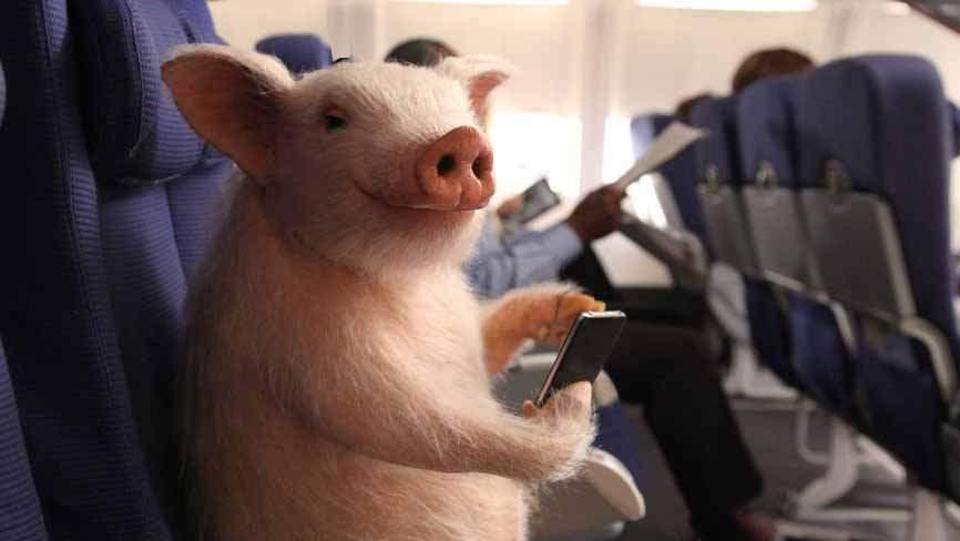S-a lansat PorcAir, compania prin care trimiți porci vii rudelor din străinătate