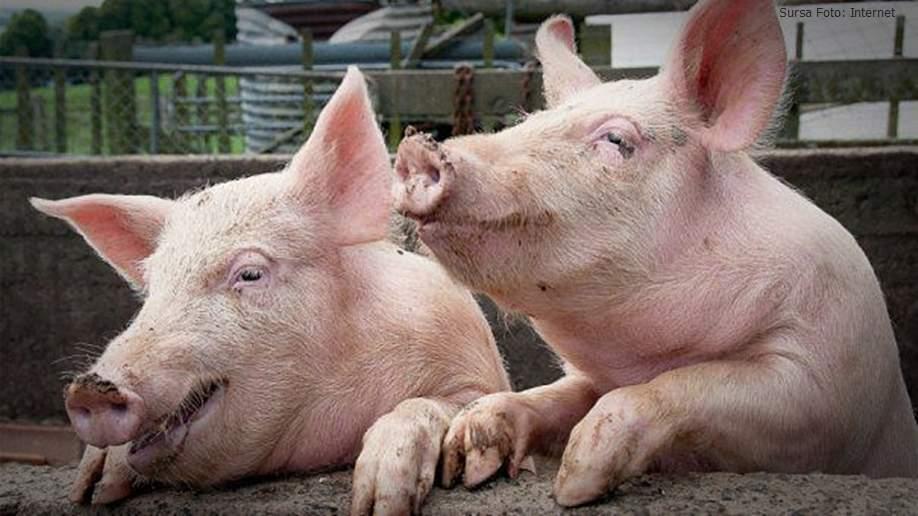 Săracii pun guițături de pe Youtube, să creadă vecinii că taie și ei porcul