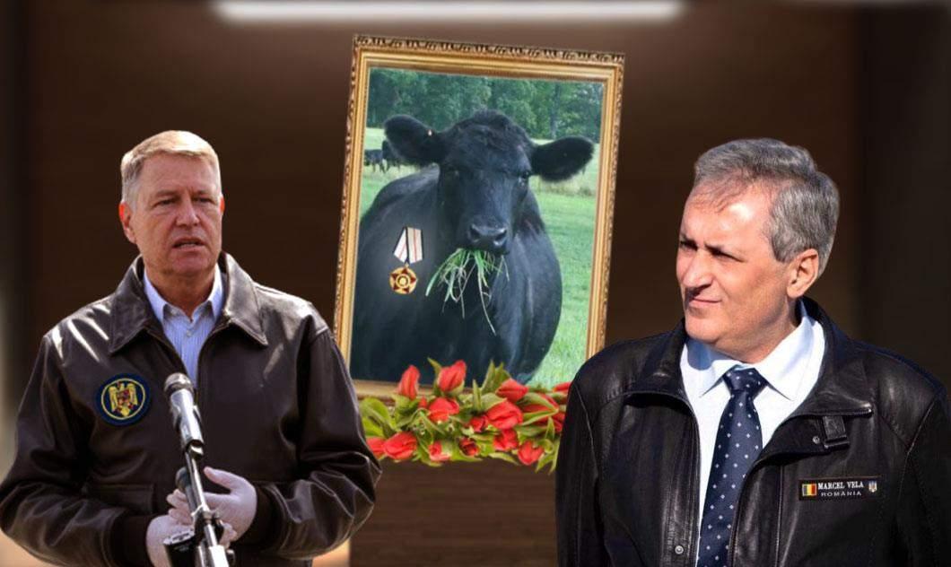 Vaca din care s-a făcut geaca de piele a lui Vela, decorată post-mortem de Iohannis