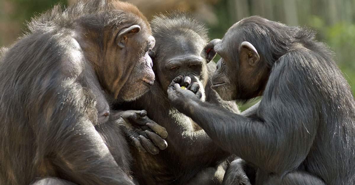 Concurență pentru România TV. Maimuțele de la Zoo, filmate mâncând căcat