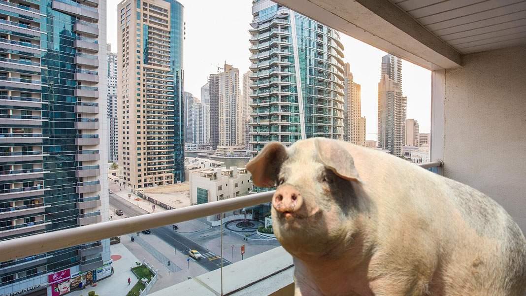 Românul care creștea porci pe balcon în Dubai a fost arestat