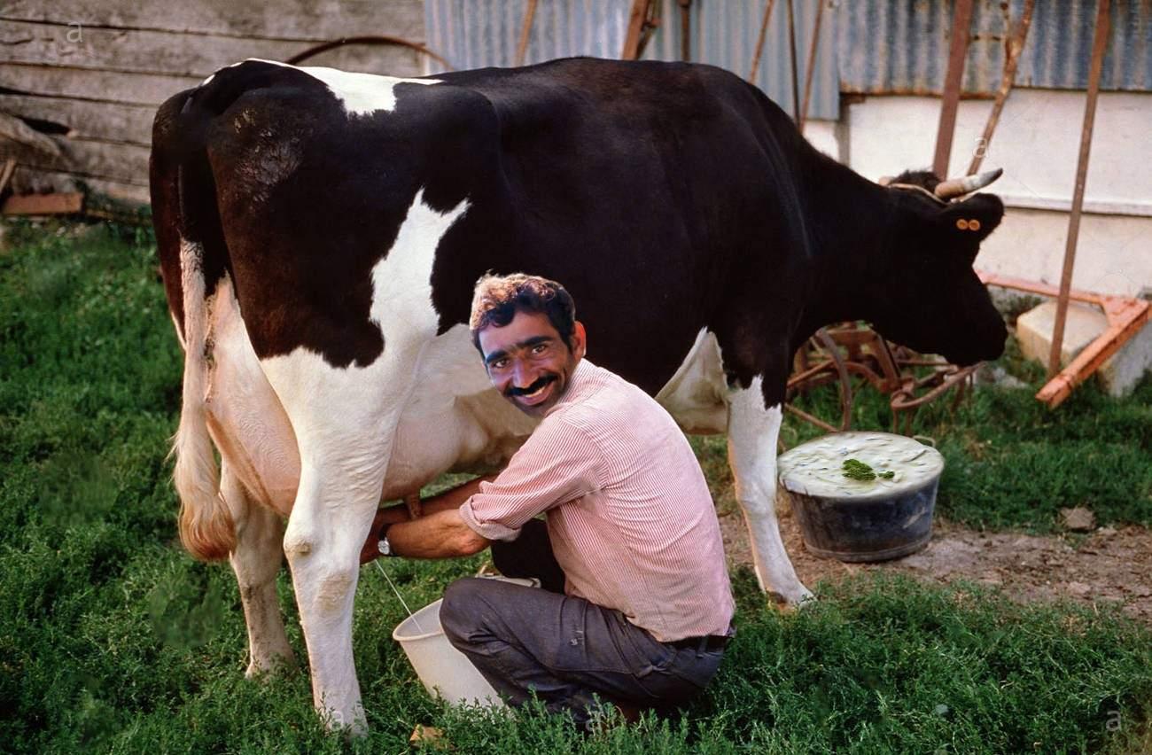 Un român își hrănește vaca cu castraveți și usturoi și mulge direct tzatziki