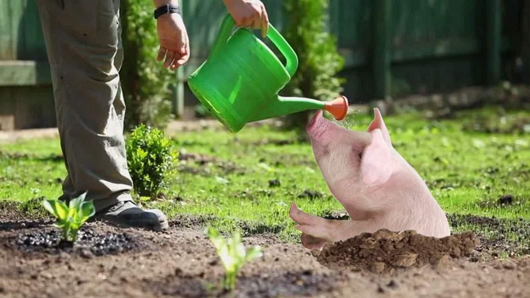 Un vegan ghinionist a plantat o sămânță și i-a ieșit tot un porc