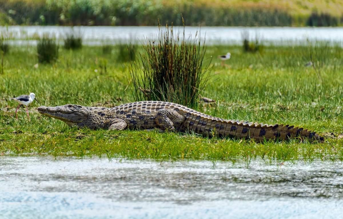 Autorităţile vor elibera 6000 de crocodili în Deltă ca să combată somnul african