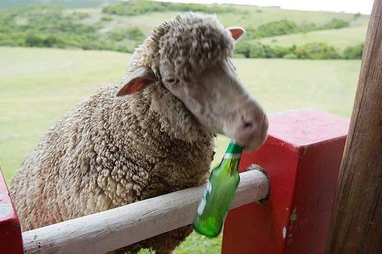 Un cioban le-a dat oilor să lingă prea multă sare şi acum îi cer bere