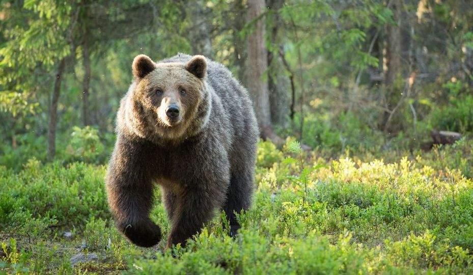 Ursul de lângă Cluj a fugit înapoi în munți când a văzut cât sunt chiriile din zonă